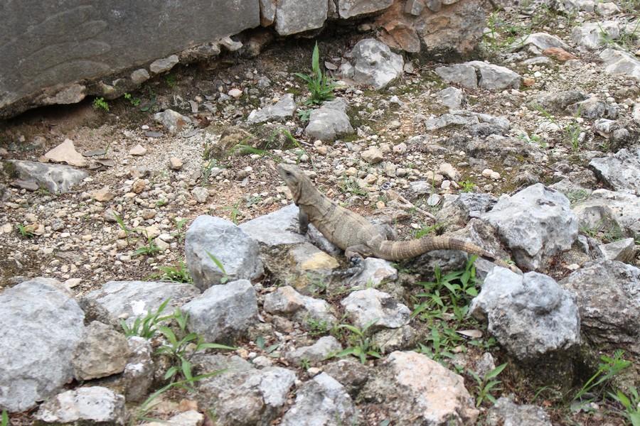 iguane chichen itza